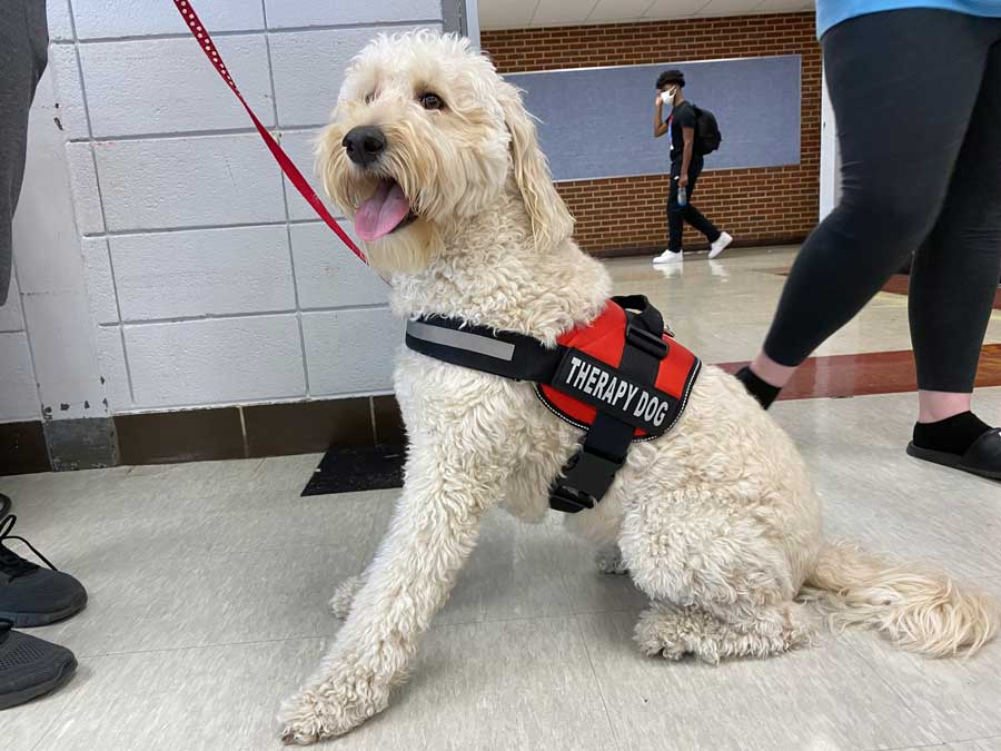CALMING PRESENCE. Being attentive, Chewie, a labradoodle mix, watches students walk by during passing time. Chewie was trained to be an emotional support dog  to aid Ms. Deanna Rymer in her social work at the school.